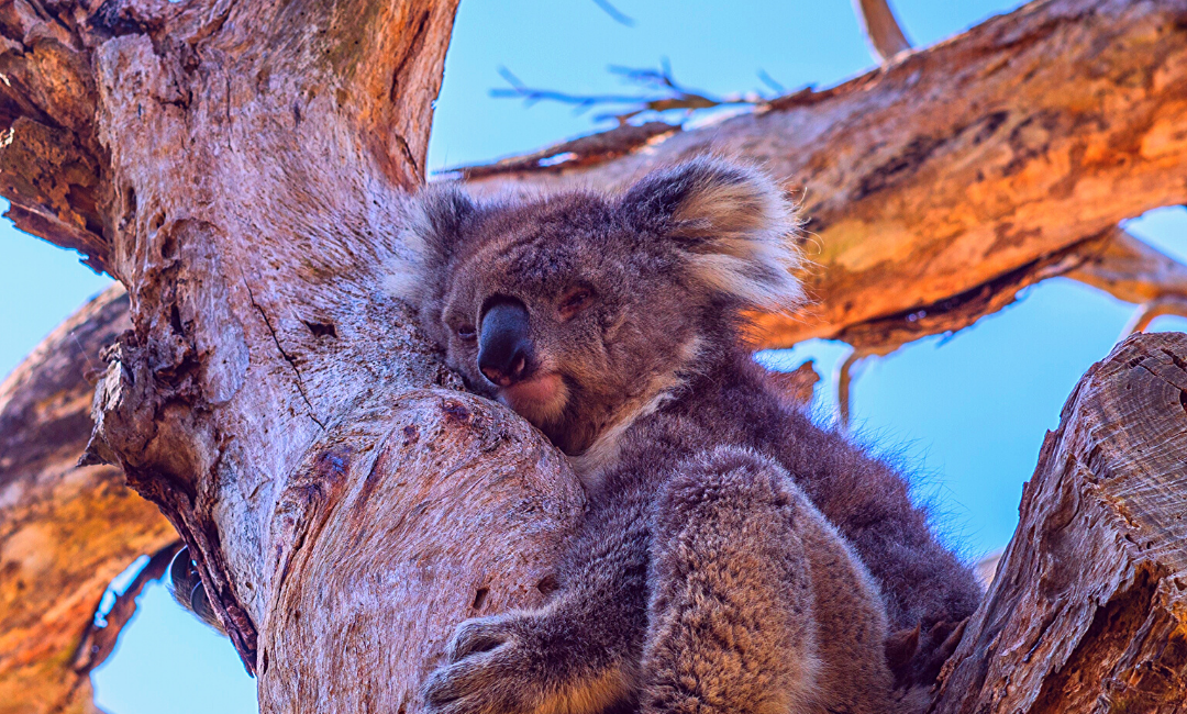 koala bear that survived bushfire in Australia