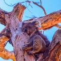koala bear that survived bushfire in Australia