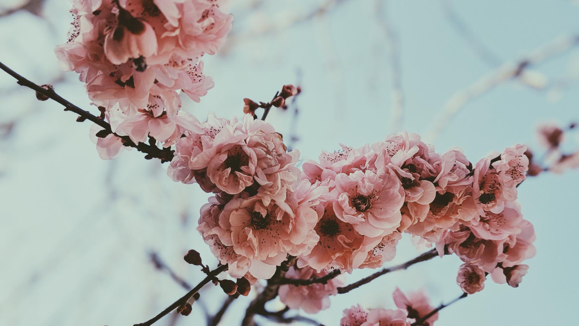 almond blossom Costa del Sol