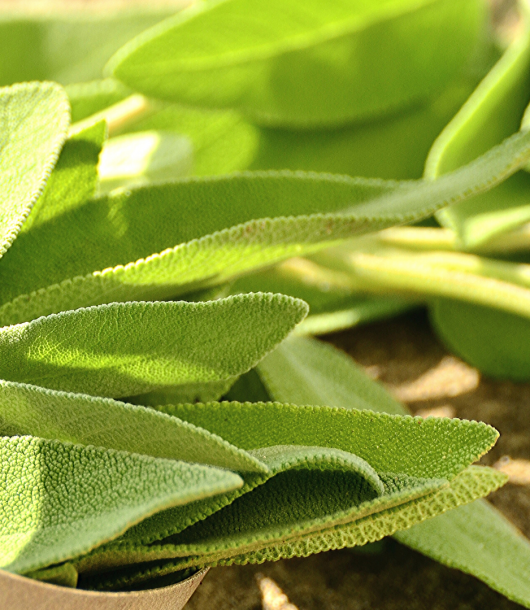 fresh leaves of sage